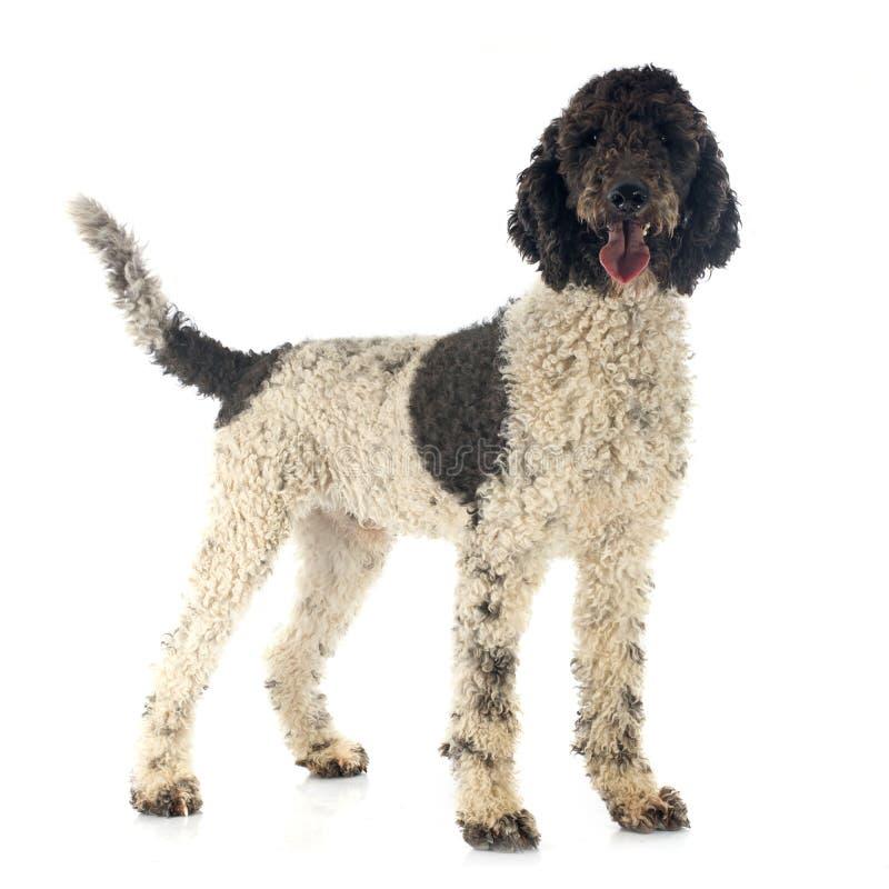Portuguese Water Dog stock photo