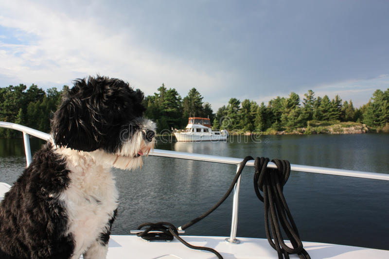Portuguese Water Dog looking at the lake with a boat in the back. Black and white dog on the bow of a boat looking off into the distance. There is a trawler in royalty free stock image
