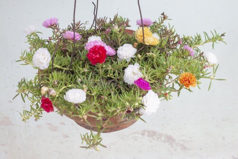 Portulaca花,五颜六色在垂悬的罐 库存图片