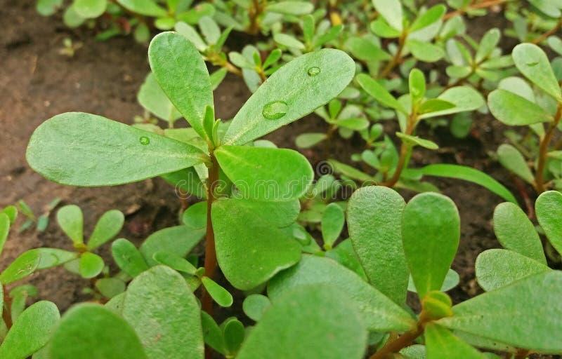 Portulaca有紧密许多好处的oleracea植物 库存照片