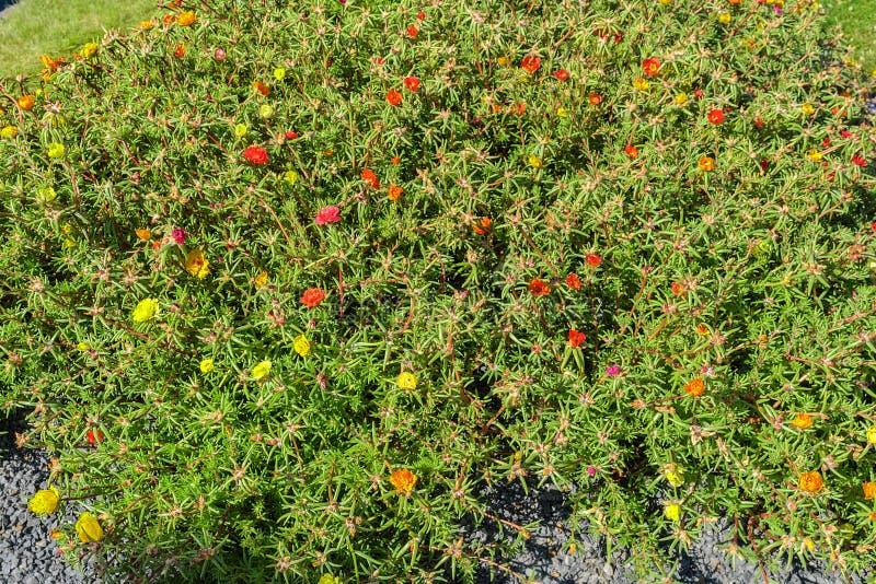 Portulaca blommar på trädgården arkivbild