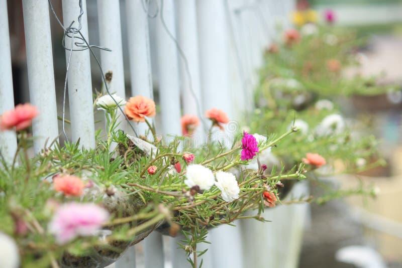 Portulaca Grandiflora zdjęcia stock