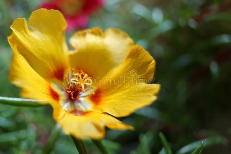 Portulaca Grandiflora stockfotos