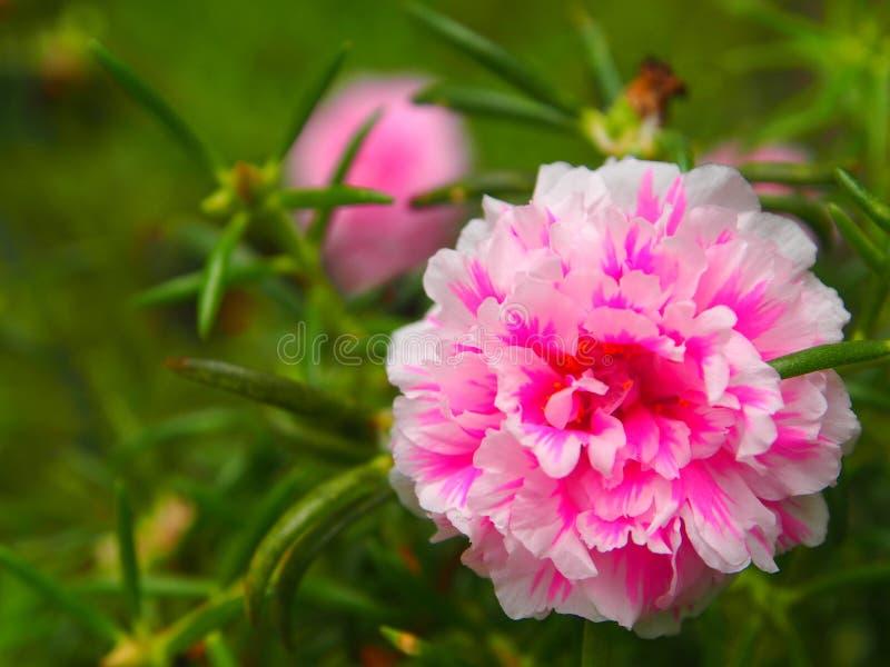 Portulaca grandiflora bloemen 2 stock foto's