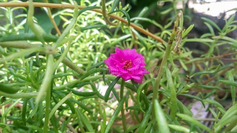 Portulaca grandiflora con la natura immagine stock libera da diritti