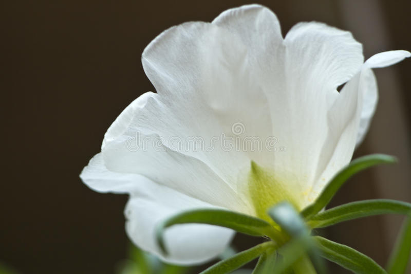 Portulaca grandiflora, jedenaście o ` zegar, dziesięć o ` zegar fotografia stock