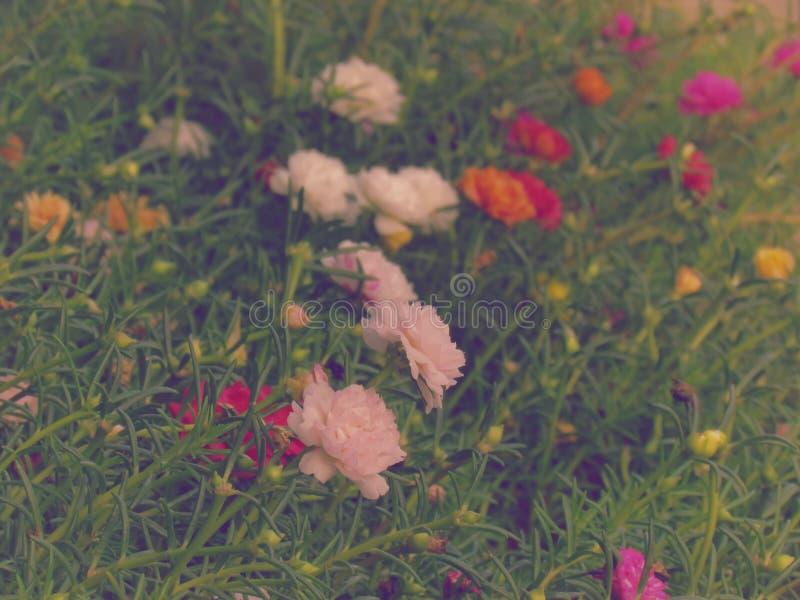 Portulaca grandiflora kwiaty, japończyk Różani lub Mose Różani kwitnący colours są jaskrawi i wibrujący zdjęcie stock