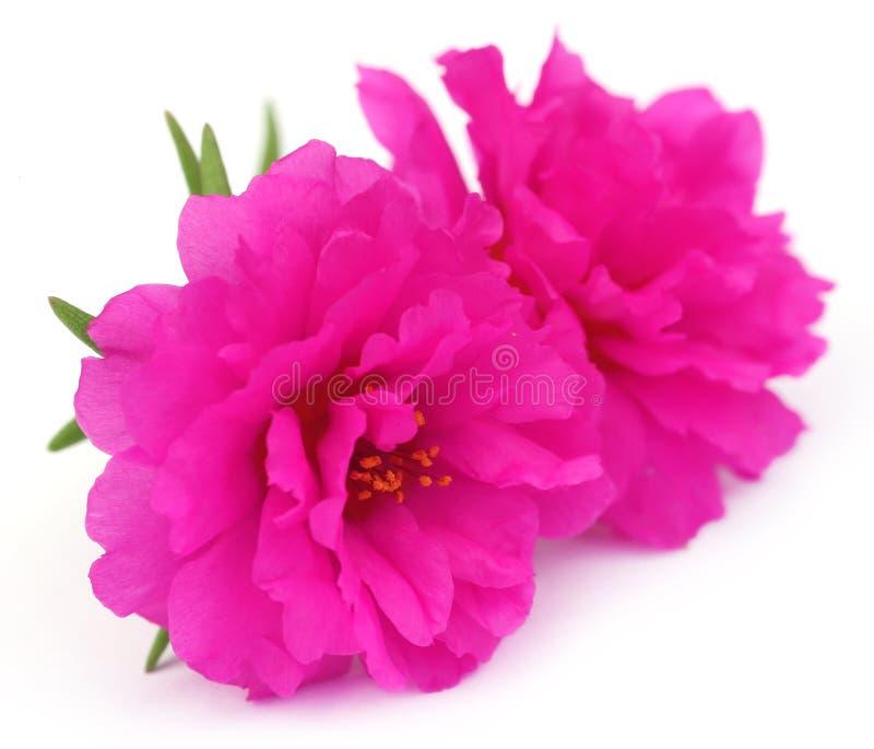 Portulaca grandiflora ou o musgo aumentaram imagens de stock royalty free