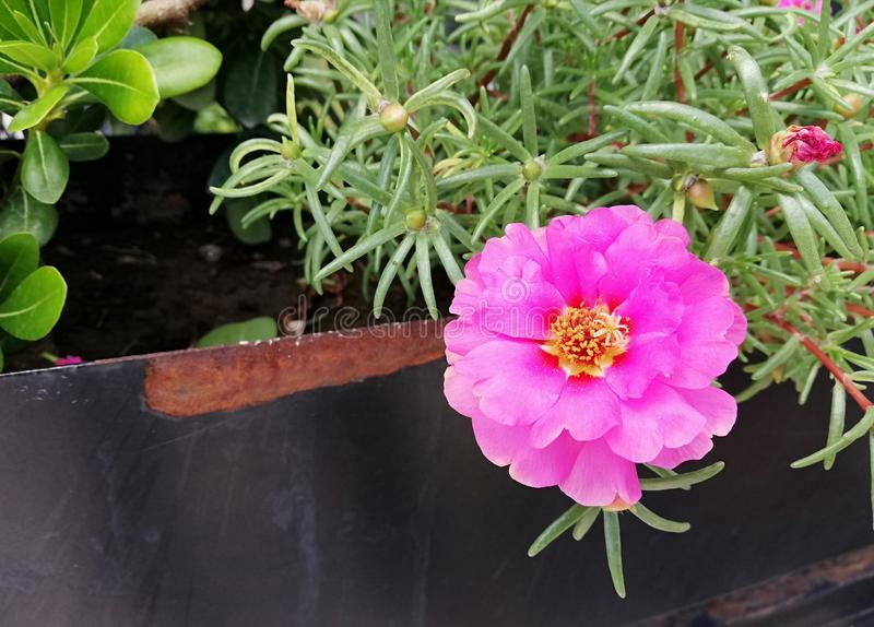 Portulaca grandiflora pink flower stock photos