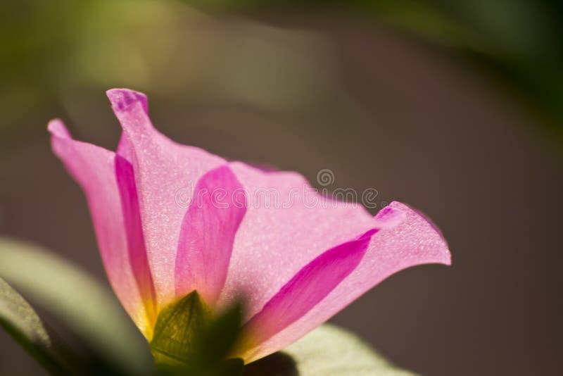 Portulaca grandiflora, pulso de disparo do ` de onze o, pulso de disparo do ` de dez o imagens de stock