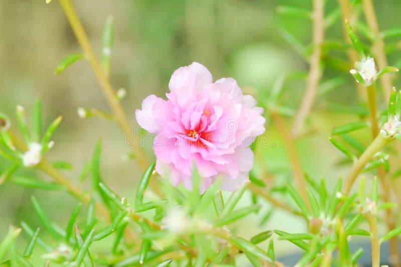 Portulaca, Moss Rose, pianta di Sun, Sun Rosa, purslane, flowe di pussley immagini stock