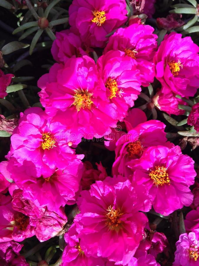 Portulaca Moss Rose Plant Blossoming grandiflora con las flores rosadas en Daytona del sur, FL fotografía de archivo