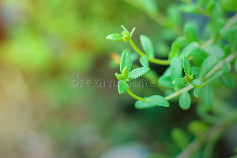 Portulaca oleracea common purslane, also known as verdolaga, pigweed, little hogweed, red root, pursley, and moss rose royalty free stock photography