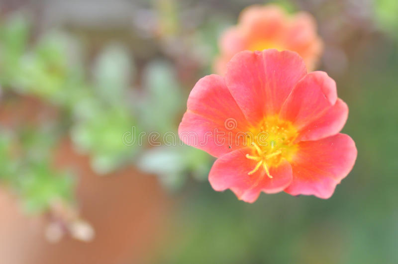 Portulaca oleracea, pussley o mose rosa fotografia stock libera da diritti