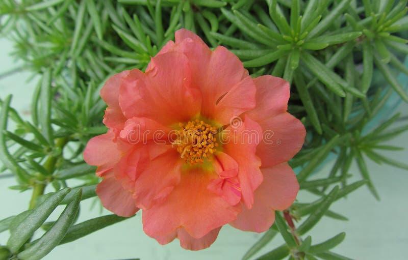 Portulaca orange couleur pêche Moss Rose Blossom photo libre de droits