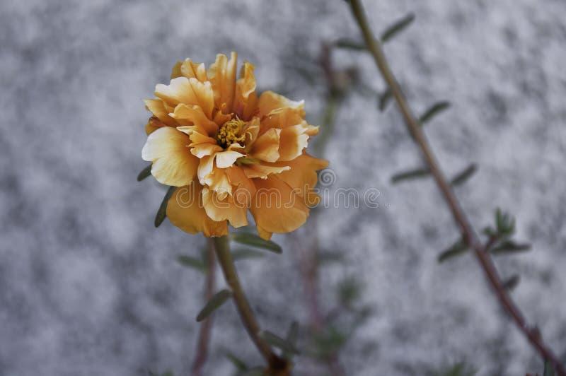 Portulaca orange et blanc images stock