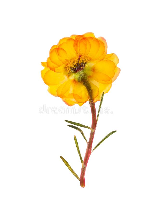 Portulaca pressionado e secado do purslane da flor, isolado imagens de stock