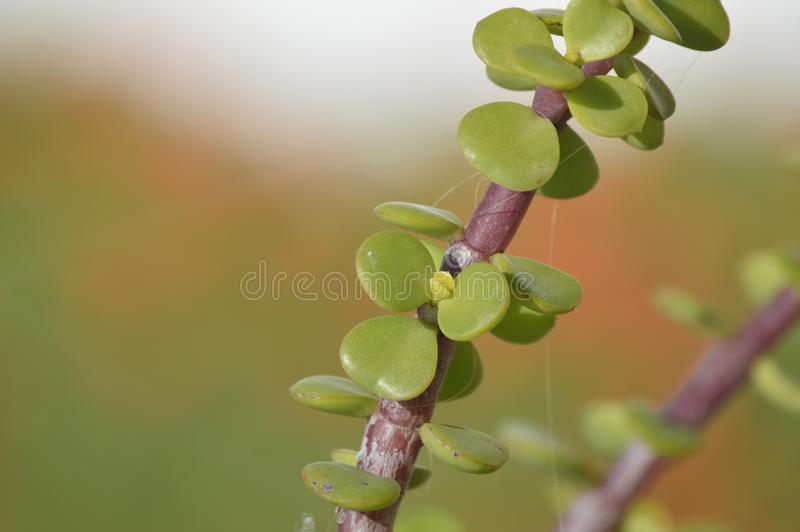 Portulacaria afra plant. Portulacaria afra known as elephant bush, dwarf jade plant, porkbush and spekboom in Afrikaans is a small-leaved succulent plant found stock image