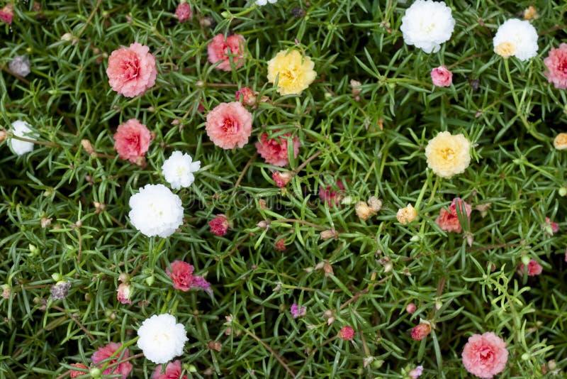 Portulace Oleracea blomma i trädgård arkivfoto