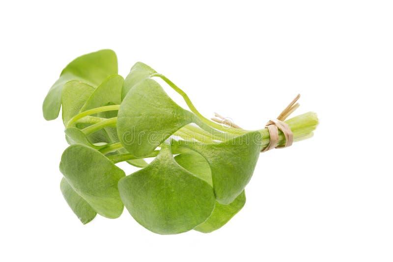 Portulak (oleracea Portulaca) стоковая фотография rf