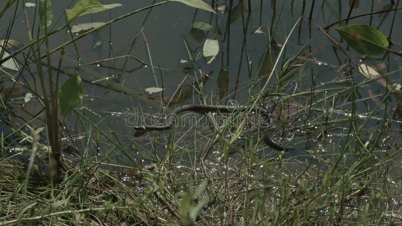 Poruszający trawa wąż, natrix na stawie z duckweed obraz royalty free