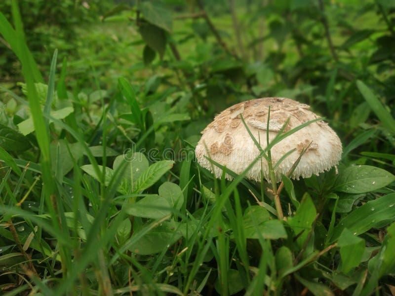 Pory deszczowe trawa i pieczarka obraz royalty free