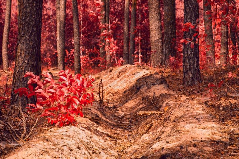 Porzuca w czerwonej jesieni lasowej podniecającej natury jaskrawym czerwonym ulistnieniu zdjęcia royalty free