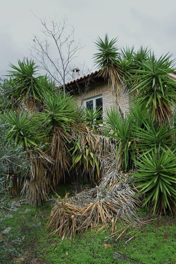 Porzucony dom z przerośniętymi roślinami juki obraz royalty free
