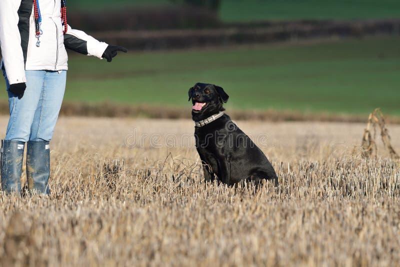 Posłuszny czarny labrador zdjęcie royalty free