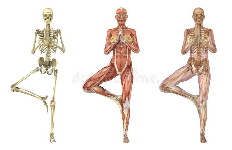 Posa dell'albero di yoga - sovrapposizioni anatomiche illustrazione vettoriale