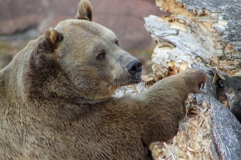 Posa dell'orso grigio fotografia stock libera da diritti