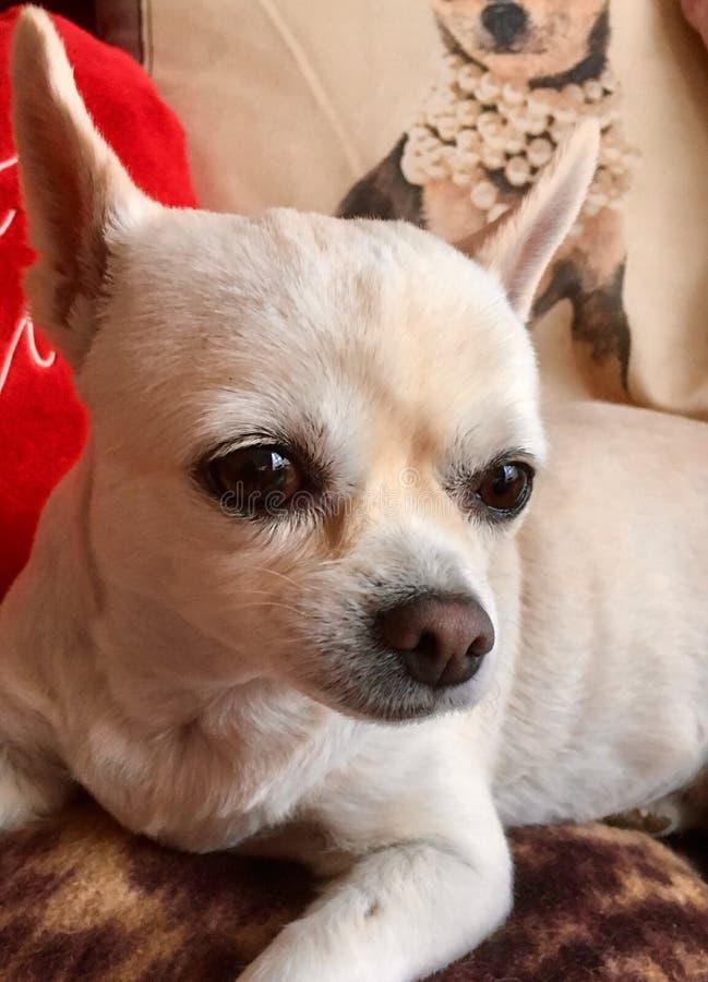 Posa della chihuahua dopo la sua trasformazione fotografia stock libera da diritti