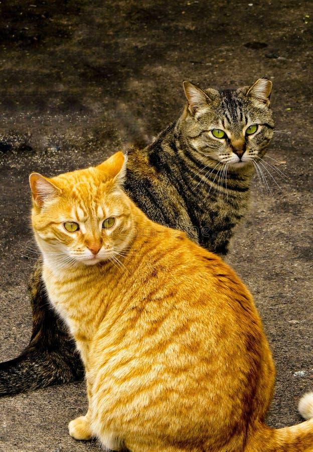 Posa di due Tabby Cats Male And Female immagine stock libera da diritti