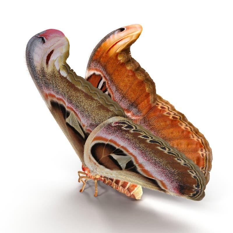 Posa di seduta del lepidottero di Saturniid dell'atlante di Attacus grande isolata sull'illustrazione bianca del fondo 3D fotografia stock libera da diritti