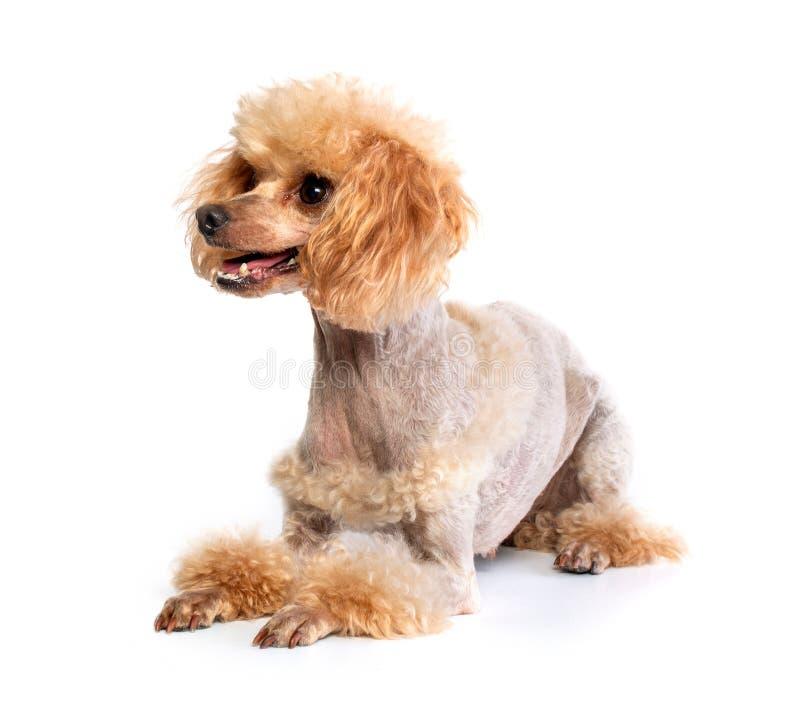 Posa governata di Toy Poodle fotografia stock