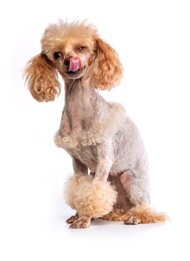 Posa governata di Toy Poodle fotografia stock libera da diritti