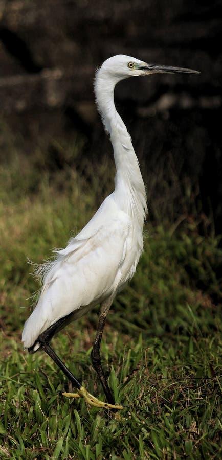 Posa laterale di Garzetta dell'egretta o dell'egretta immagini stock