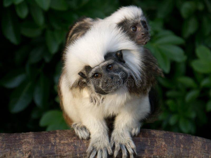 posa sommità cotone delle scimmie del Tamarin fotografia stock