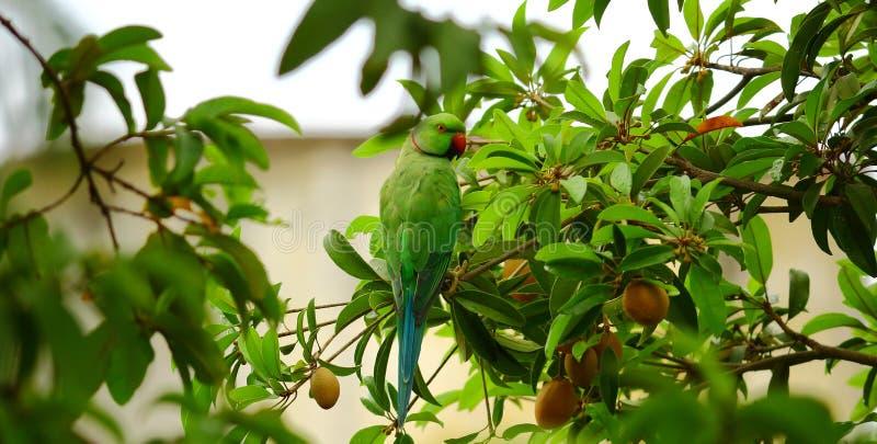 Posa verde del pappagallo fotografia stock