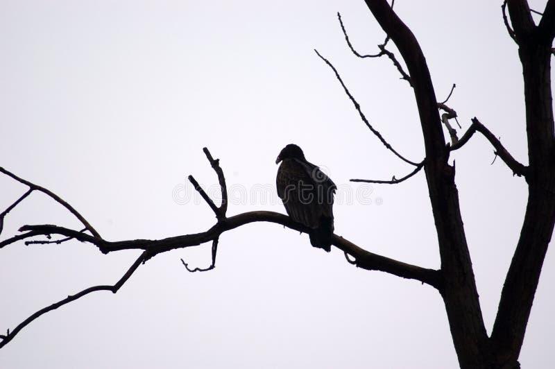 Posatoio Dell Avvoltoio Immagine Stock