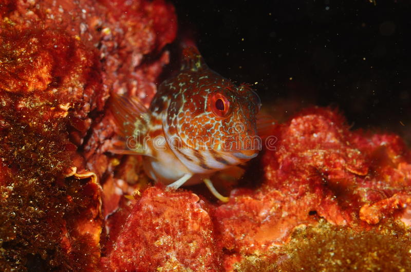 Pose of a blenny stock photo