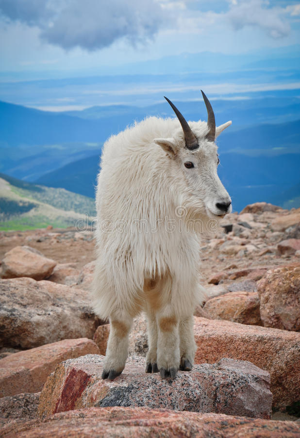 Pose da cabra de montanha fotografia de stock royalty free