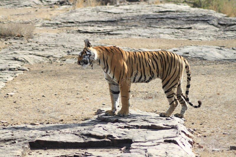 Pose da posição do tigre imagem de stock royalty free
