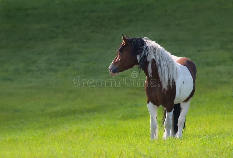 Pose de cheval de Mustang sur un pré vert photographie stock libre de droits