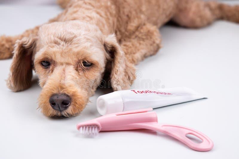 Pose de chien avec la brosse à dents et la pâte dentifrice Soin oral d'animal familier photos libres de droits