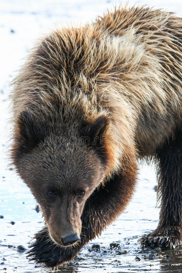 Pose de Clark Young Brown Grizzly Bear de lac alaska photographie stock
