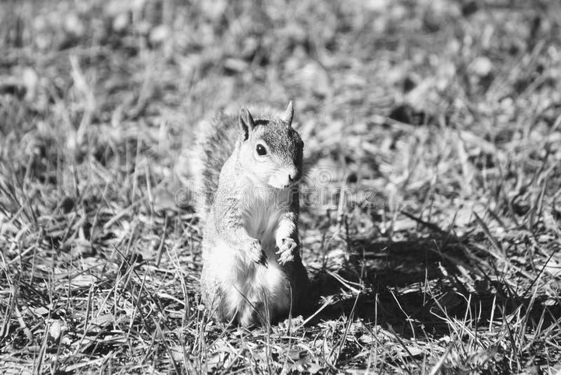 Pose de l'écureuil photo stock