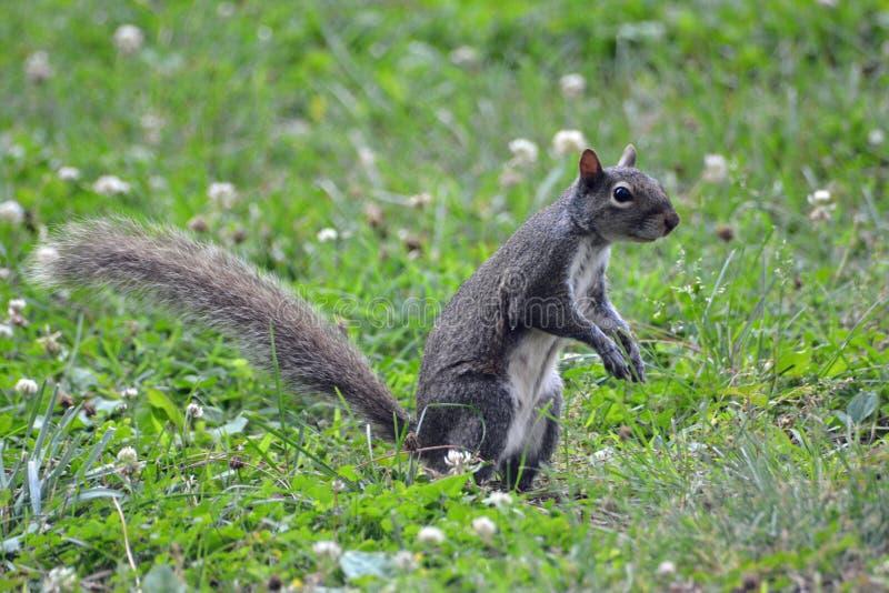 Pose de l'écureuil photos stock