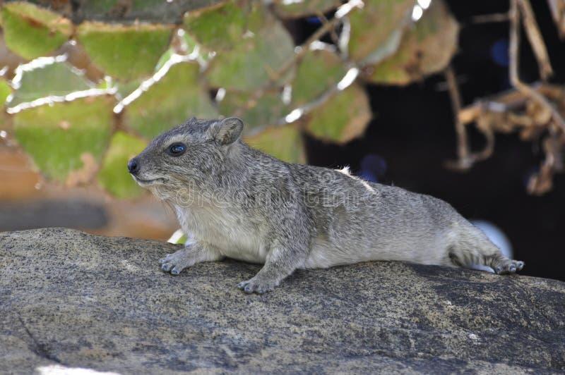 Pose De Marmotte Photo stock