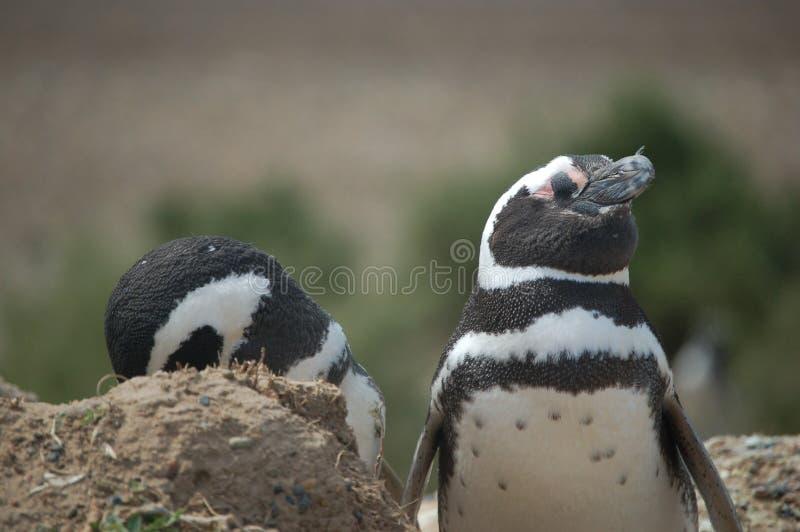 Pose de pingouins photos libres de droits